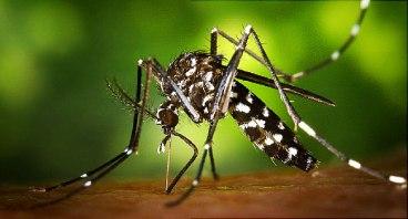650x350_aedes_albopictus_mosquito.jpg
